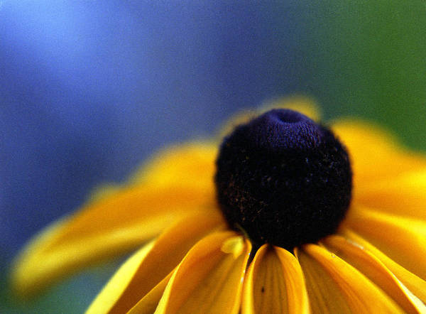 Photograph - Cone Flower by Lee Santa