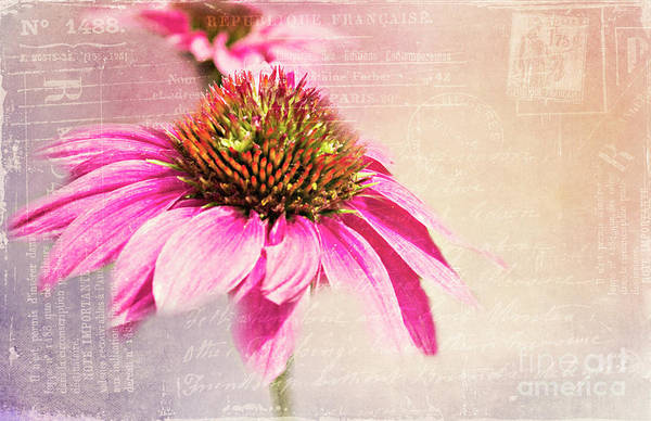 Photograph - Cone Flower Postcard by Pam  Holdsworth