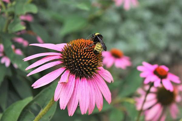 Photograph - Coneflowers And Bee by Sheila Brown