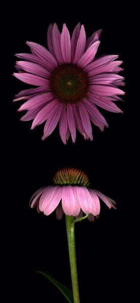 Photograph - Cone Flowers by Deborah J Humphries