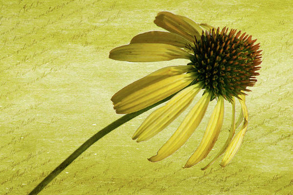 Wall Art - Photograph - Yellow Coneflower 2 by Kevin O'Hare