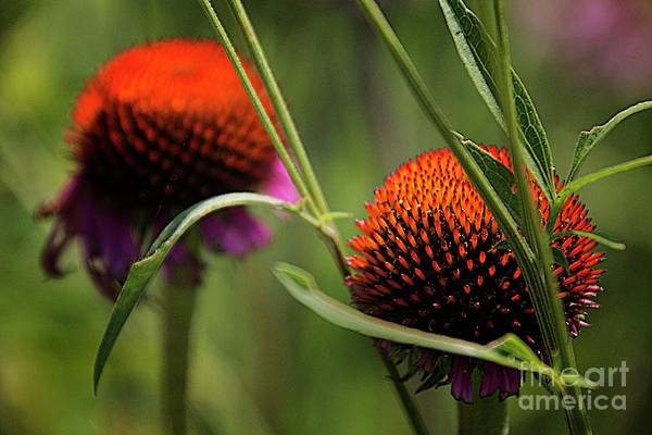 Coneflower Centers Art Print by Jim Wright