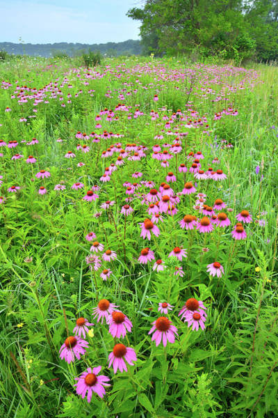 Photograph - Coneflower Corridor In Chain-o-lakes Sp by Ray Mathis