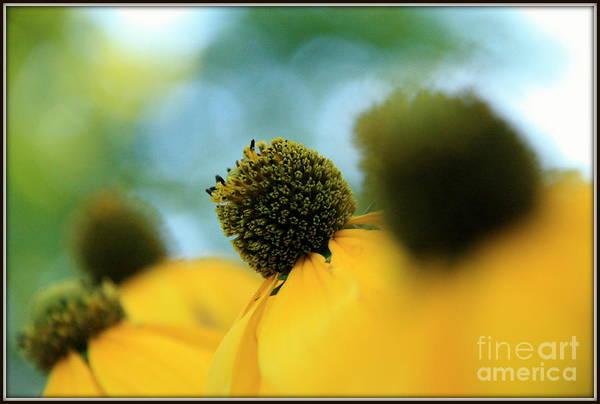 Photograph - Coneflower Impressions.. by Jolanta Anna Karolska