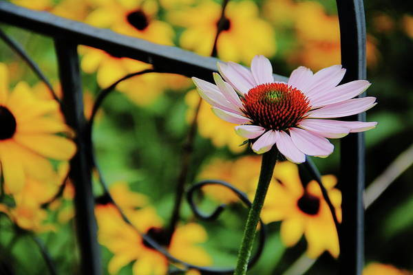 Photograph - Coneflower Moment For Pondering by Allen Nice-Webb