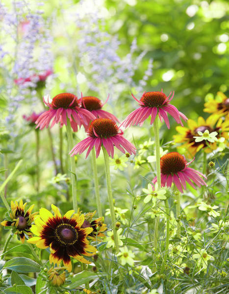 Photograph - Coneflower Scene by Garden Gate