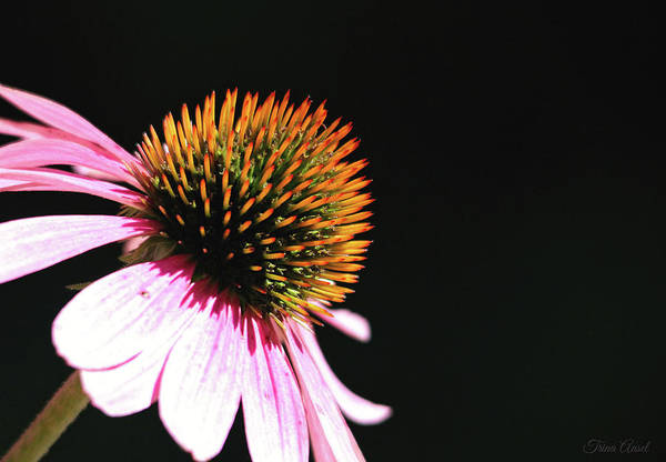 Photograph - Coneflower by Trina Ansel