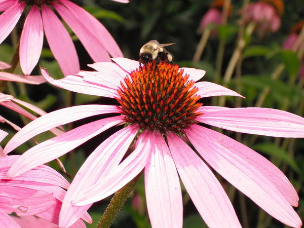 Wall Art - Photograph - Coneflower Visitor by Candace Shockley