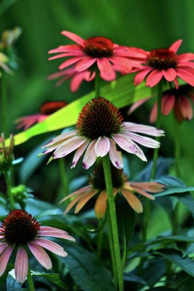 Wall Art - Photograph - Coneflowers 2 by Kevin Wheeler