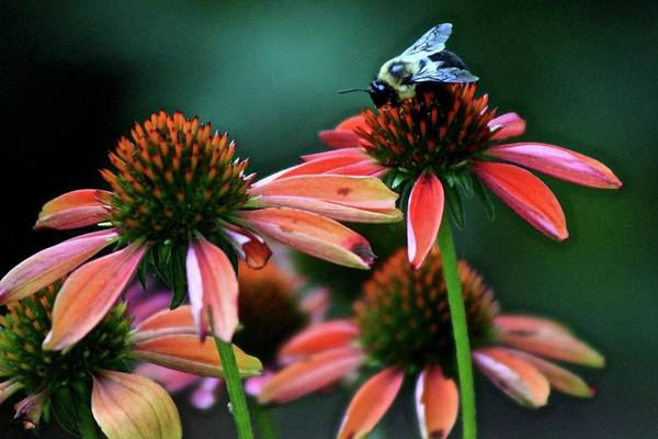 Wall Art - Photograph - Coneflowers And Bee by Kevin Wheeler