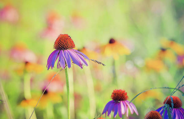 Photograph - Coneflowers And Black Eyed Susan Flowers by Dan Sproul