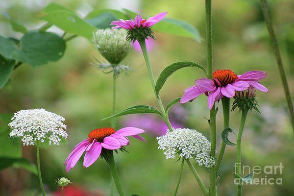 Purple Carrot Photograph - Coneflowers And Queen Annes Lace by Karen Adams