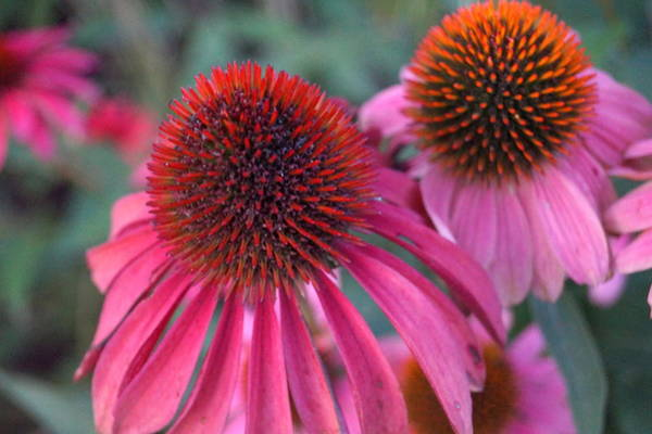 Wall Art - Photograph - Coneflowers by Beth Collins
