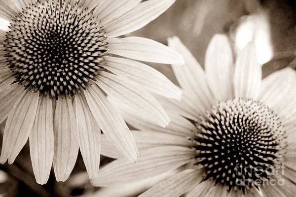 Photograph - Coneflowers In Sepia by Patricia Strand