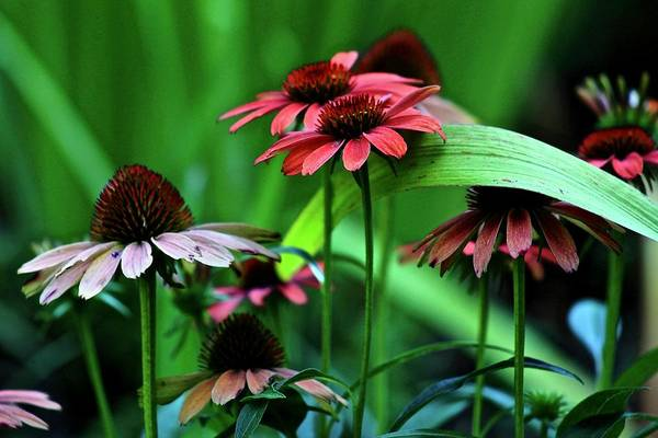 Wall Art - Photograph - Coneflowers by Kevin Wheeler