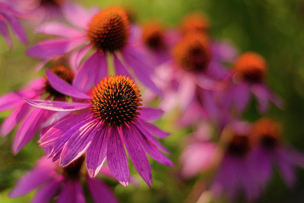 Photograph - Coneflowers by Robert Mitchell