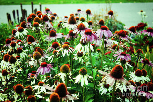 Photograph - Coneflowers With Green by Donna L Munro