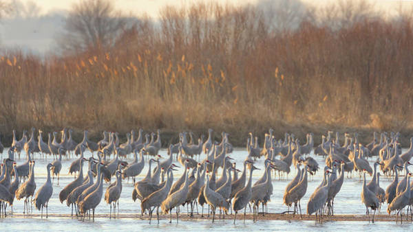 Photograph - Congregation On The Platte by Susan Rissi Tregoning