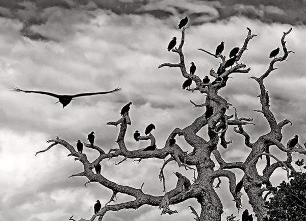 Photograph - Congress Of Vultures by Karl Ford