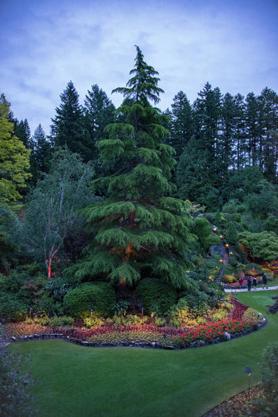 Photograph - Conifer In The Sunken Garend At Dusk by Michael Bessler