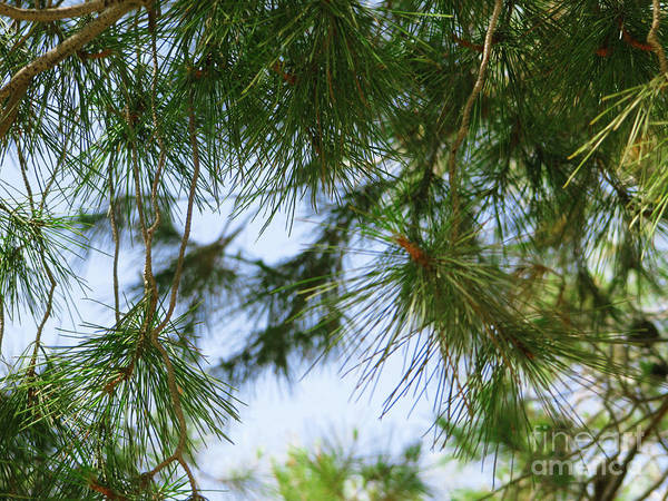 Photograph - Coniferous Cover by Donna L Munro