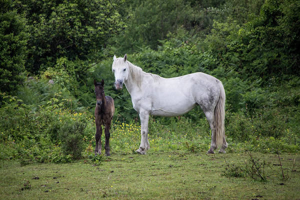 Photograph - Connemara Mare And Foal by Teresa Wilson