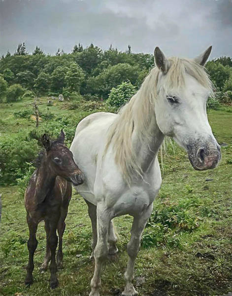 Mixed Media - Connemara Mare And Foal Vertical by Teresa Wilson