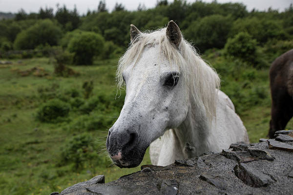Photograph - Connemara Mare by Teresa Wilson