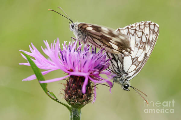 Wall Art - Photograph - Contact - Butterflies On The Bloom by Michal Boubin