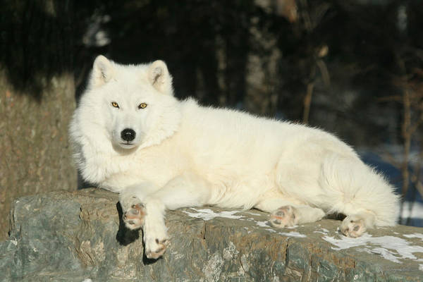 Arctic Wolves Photograph - Contemplating by Gerry Sibell