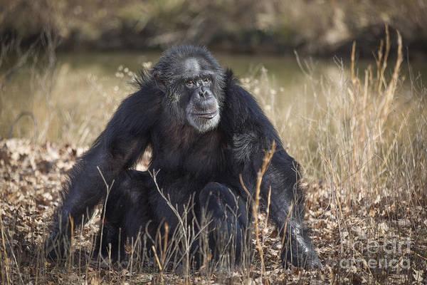 Photograph - Contemplative Chimpanzee by Jemmy Archer