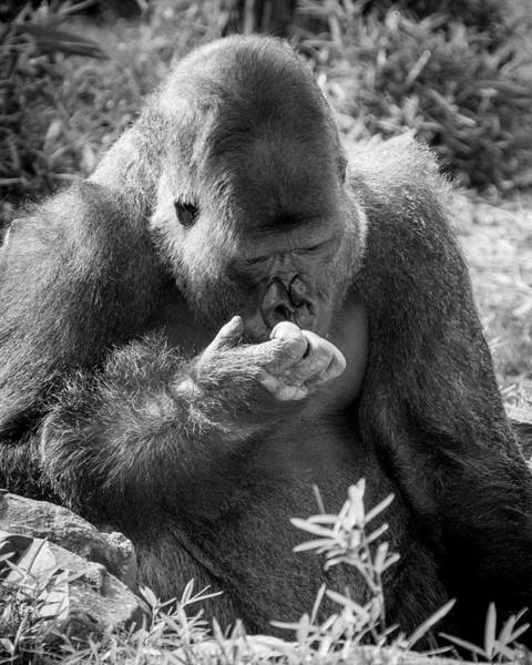 Photograph - Contemplative Gorilla by SR Green