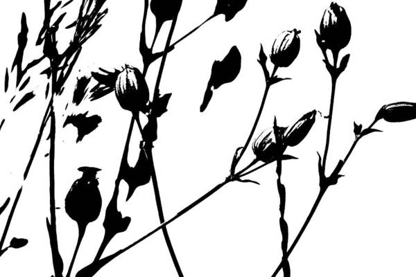 Photograph - Contemporary Campion Pods by Colleen Cornelius