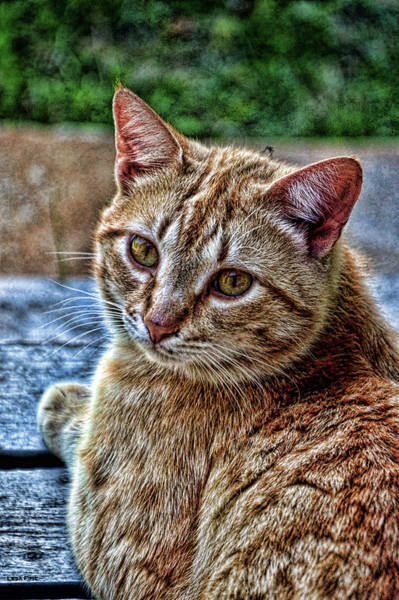 Photograph - Content Yellow Tabby Cat Hdr by Lesa Fine