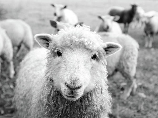 Black Sheep Photograph - Contentment by Pixabay