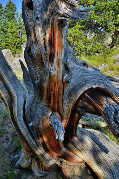 Photograph - Contorted Mt. Goliath Bristlecone Pine by Ray Mathis