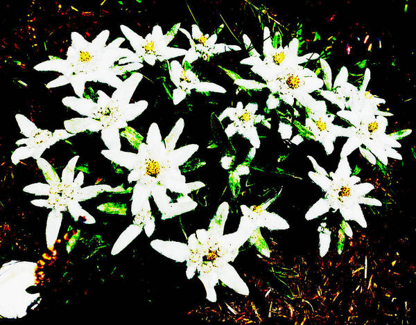 Photograph - Contrast Flowers by Laura Greco