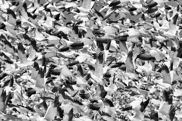 Snow Goose Photograph - Controlled Chaos Bw by Everet Regal