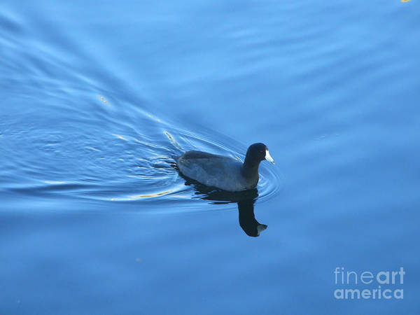 Photograph - Cool American Coot Photograph by Kristen Fox