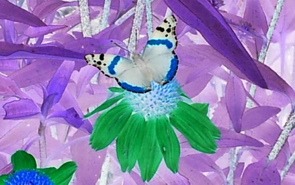 Photograph - Cool Butterfly In Lavender Leaves by Karen J Shine