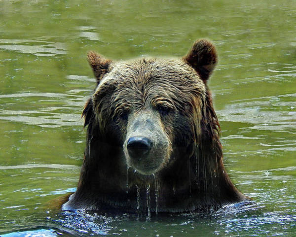 Photograph - Cool Grizzly by Frank Vargo