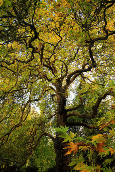 Photograph - Coole Park Tree Galway Ireland by Pierre Leclerc Photography