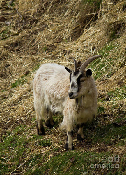 Photograph - Coombs Goat Star 2 by Donna L Munro