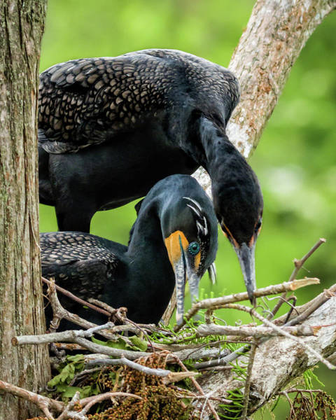 Photograph - Cooperative Nest Building by Dawn Currie