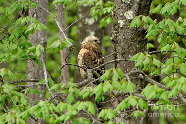Photograph - Coopers Hawk #2 by Barbara S Nickerson