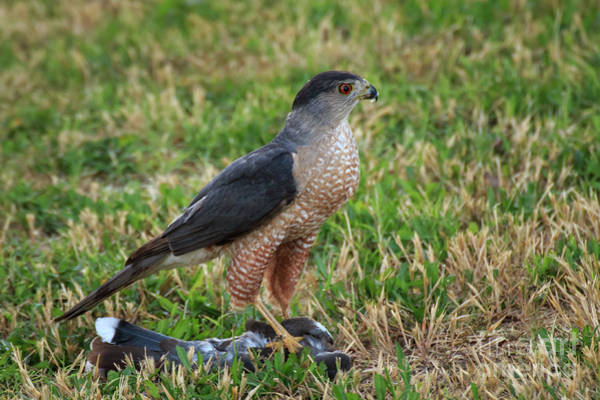 Photograph - Cooper's Hawk  #3 by Richard Smith