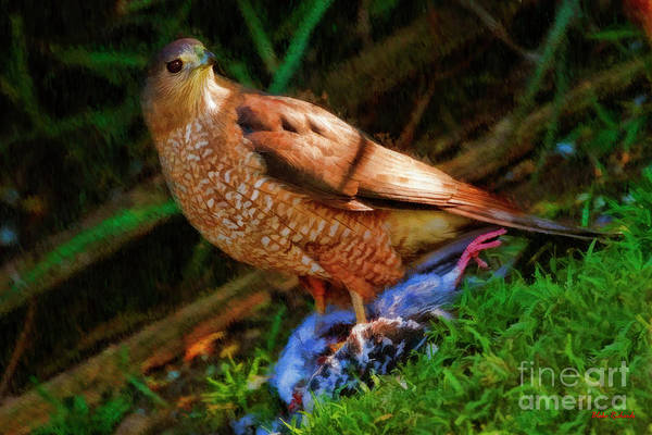 Photograph - Cooper's Hawk At Dinner by Blake Richards
