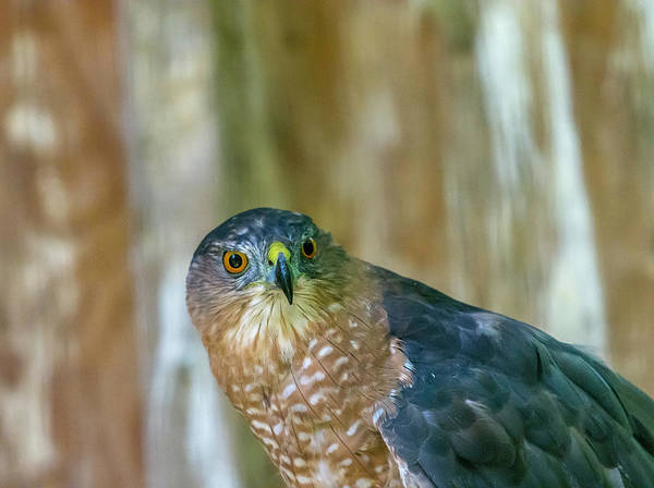 Photograph - Coopers Hawk by Keith Smith