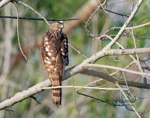 Photograph - Coopers Hawk by Mike Fitzgerald