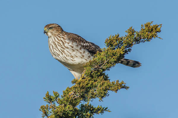 Chicken Feet Photograph - Cooper's Hawk Perched by Morris Finkelstein